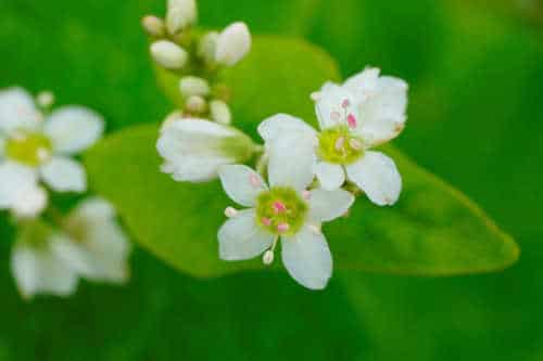 oreillers écologiques en sarrasin - fleurs de sarrasin